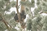 Esquilo no nevão